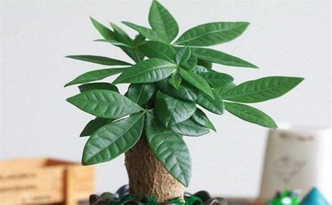 招财树的养殖方法和注意事项,招财树真的能招财吗