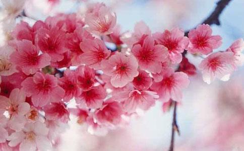 樱花什么季节开,樱花开放时间大约在3-4月份