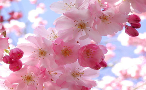 樱花的养殖方法和注意事项,掌握以下要点轻松学会种植樱花