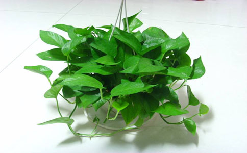 绿萝的养殖方法和注意事项,一对一教你学会种植绿萝