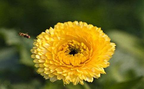 菊花茶的功效和作用,充分了解菊花的几大功效