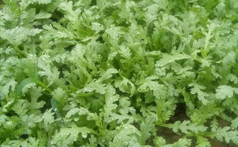 茼蒿菜的功效和作用,茼蒿美味又营养