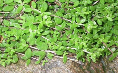 垂盆草的功效与作用,充分了解垂盆草的功效和作用