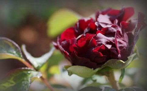 洛阳的黑牡丹花品种有几种,大家都知道吗