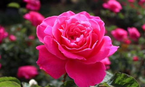 玫瑰花和月季花区别,玫瑰送的好女票少不了