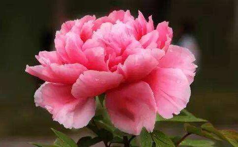 牡丹花的花语是什么?不同颜色牡丹代表的含义
