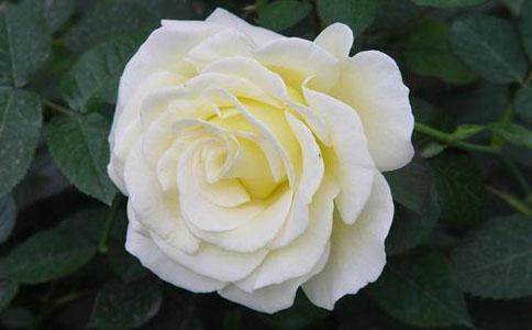 玫瑰花语每朵代表什么  大家都知道玫瑰的含义吗