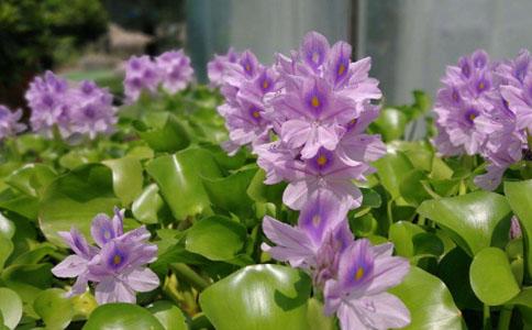 水葫芦可以室内种植吗?室内温度最好18~35度
