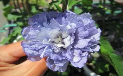 紫玉花的种植方法和注意事项?,紫玉花喜爱在松散地方