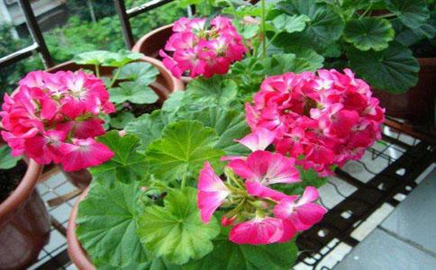 天竺葵冬天可以放在室外种植吗?不耐寒不适合放在室外