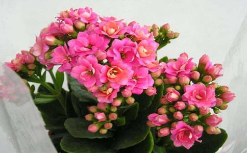 长寿花放在室内好还是室外好?户外有益于植物的生长