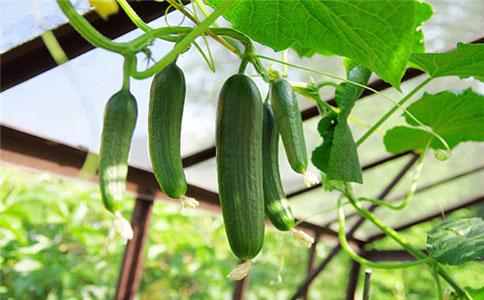 种植黄瓜该怎么施肥比较好?前期施肥足后期减少施肥