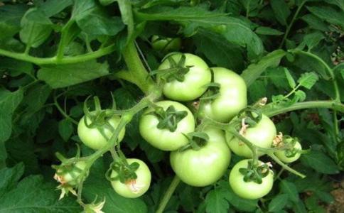 西红柿膨果太慢该怎么办?施肥是关键