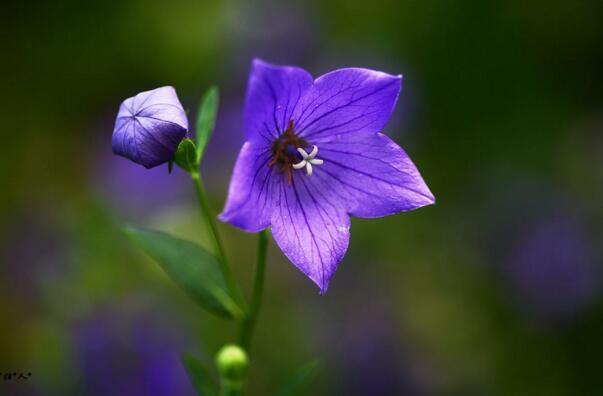 桔梗花是什么花?桔梗花的花语是什么?