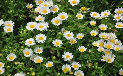 白晶菊和纽扣菊的形态特征区别
