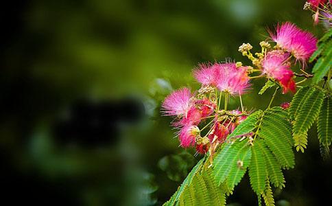 合欢花都有哪些药用价值?治郁结胸闷、失眠健忘