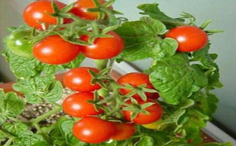 阳台种植番茄种植注意事项?