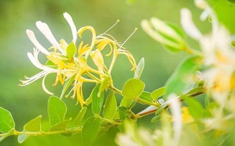 盆栽的金银花为什么长不大?不宜放在阴暗地方