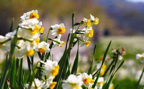 水仙花出现叶子干枯发黄怎么办?