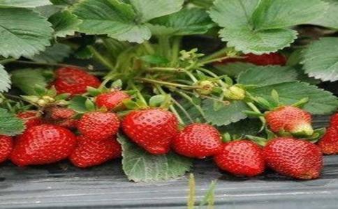 四季草莓盆栽要怎么种植?一般生长期2-3天浇一次水