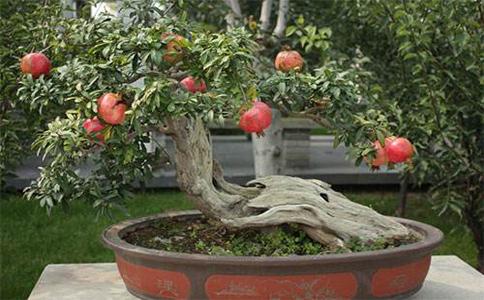 盆栽石榴方式和方法有有哪些?