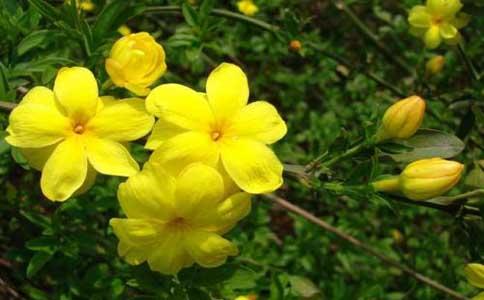 迎春花的种植方法和注意的事项有哪些?