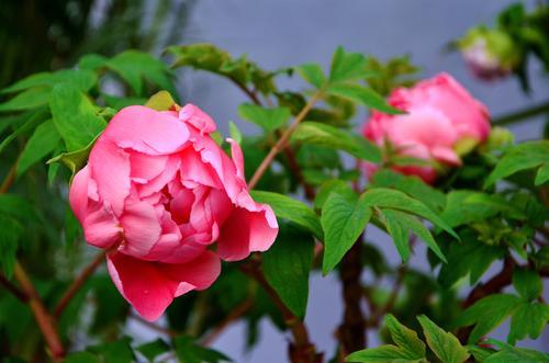 牡丹花不开花的原因是什么?根部受损会影响开花