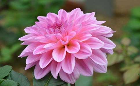 大丽花叶子发卷怎么办?大丽花是常见的喜光植物