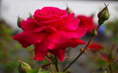 月季花可以嫁接其他植物吗?最适宜在每年秋天的8-9月份进行