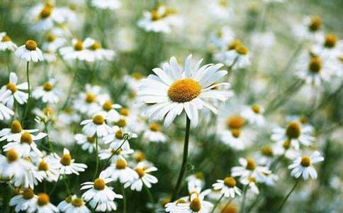 雏菊有多少花瓣?