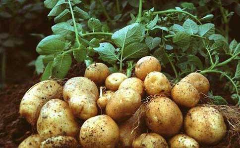 春季要怎么栽种土豆