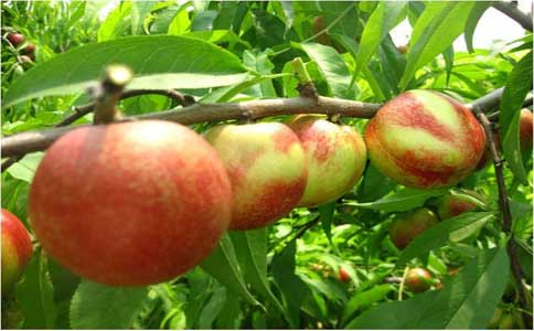 春季要怎么给桃树嫁接
