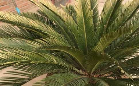 铁树种植方法和注意事项?观赏价值高的常绿植物