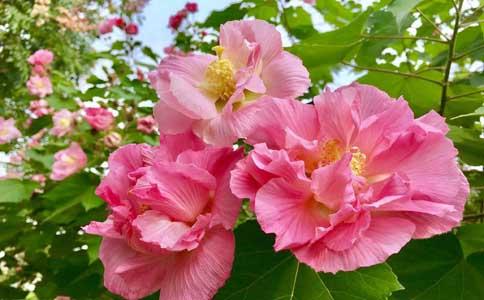木芙蓉如何种植呢