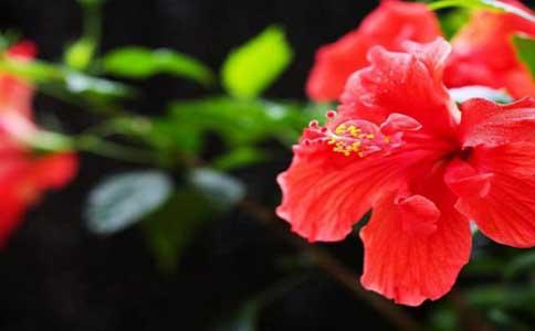 扶桑花的种植方法和技巧?非常喜欢光照