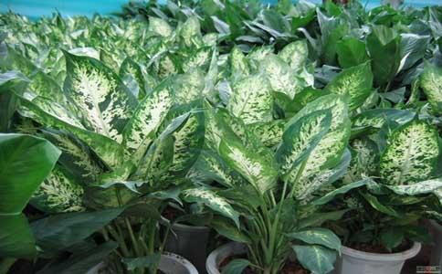 万年青种植时如何防虫害?