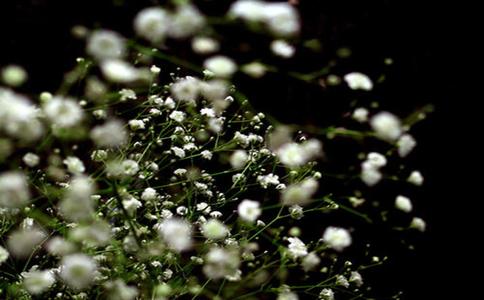 如何让满天星爆盆呢?四季常绿,花叶精致,