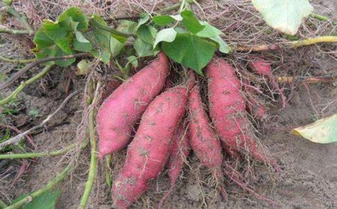 甘薯与红薯的区别是什么?大家都知道了吗