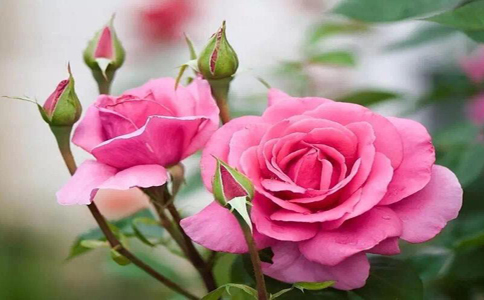 玫瑰花要怎么养才不会枯萎?