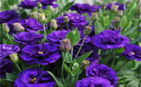 桔梗花的花语有哪些?不同颜色桔梗花的花语含义有什么不同?
